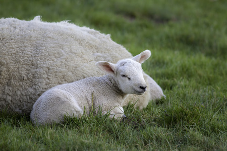Close up of a cute young lamb laying by its mother sheep in a field of grazing grass.
