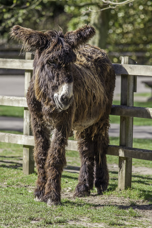 raggedy: Hairy Ass. Poitou long haired donkey. Cute animal with long hair standing by the fence of a paddock.