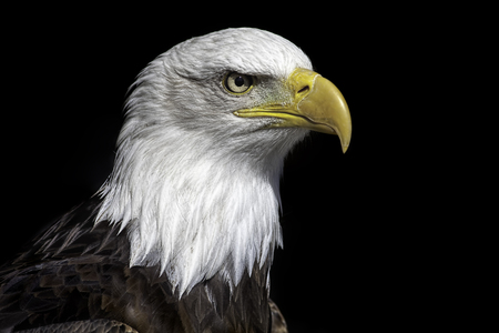 American bald eagle head close up against black background. Magnificent iconic bird of prey and national bird of USA. Stock Photo