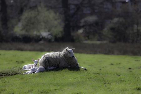 Ewe sheep lying down with spring lambs. English rural countryside scene.