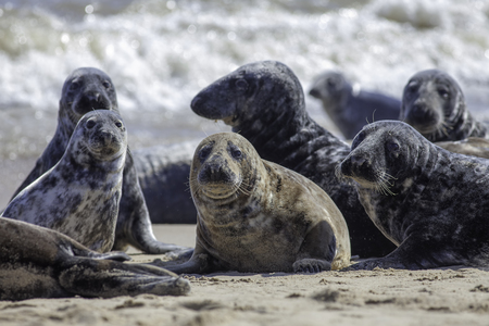 Wild Grey seal colony on the beach at Horsey UK. Beautiful aquatic animal group with various shapes and sizes of gray seal. Selective focus on foreground seals.