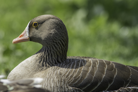 distinct: White-fronted goose (Anser erythropus) in close up against plain blurred green background. Brown waterfowl with distinct yellow-rimmed eye.