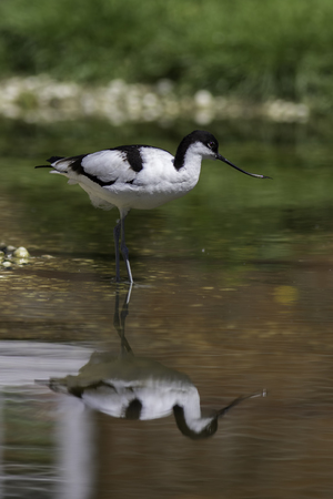 Avocet (Recurvirostra avosetta) wild bird. Wading in still water with reflection. Iconic bird often representing the wildlife and nature of spring and summer.