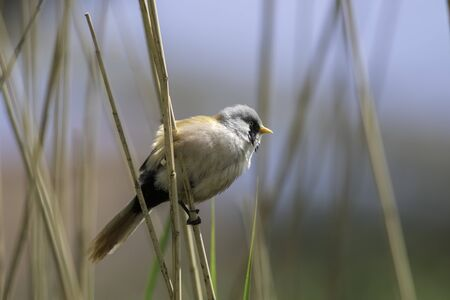 Young male bearded tit, reedling (Panurus biarmicus). Summer nature trail image of this beautiful bird perched on reeds.