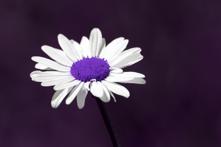 Surreal summer nature , image of a beautiful purple daisy flower against a plain purple background with copy space. Surreal and futuristic picture in natural colors of an artificially created plant.