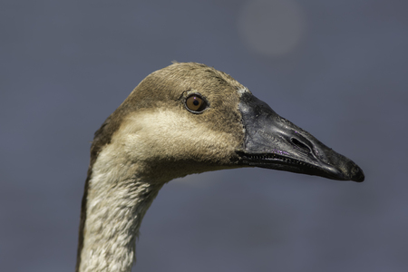 Swan goose (Anser cygnoides) head in close up against clean plain background. Stock Photo