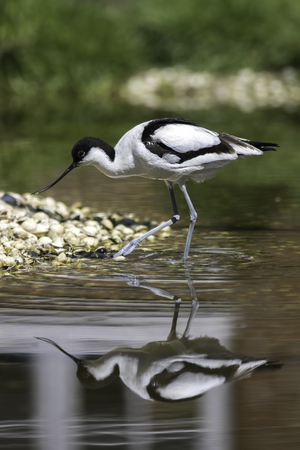 Avocet iconic wading bird in shallow water. With reflection and approaching a shoreline covered in seashells.