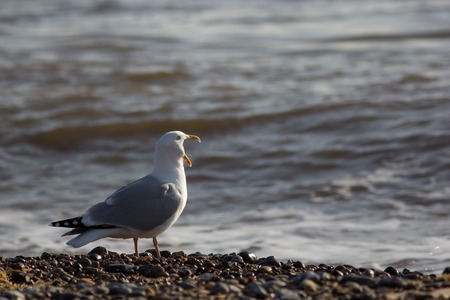 vocals: Song Bird. Funny animal meme of seagull screaming loudly at the sea. Gull squawking.