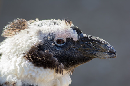 Head of a scruffy moulting (molting) penguin. Ugly but cute bird in close up profile against plain background.