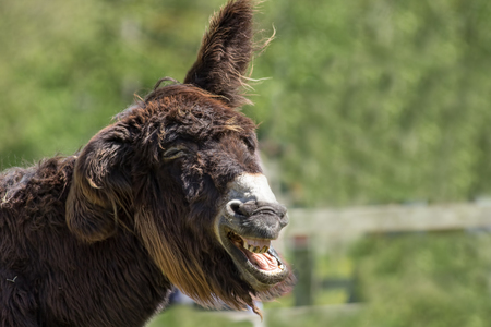 animal idiot: Dumb animal. Stupid looking jackass. Hairy laughing donkey. Funny animal meme image with copy space. Wonky donkey.