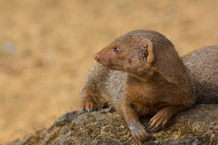 Dwarf mongoose in close up with copy space. Cute wild animal in profile.