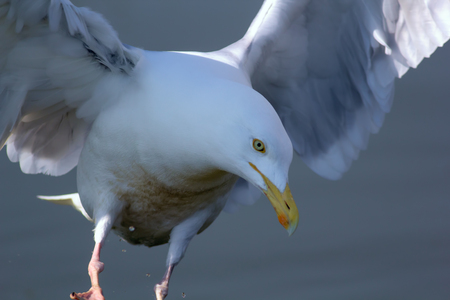 Mother nature. Serene pure white herring gull (Larus argentatus) bird in angel like heavenly pose. Spiritual nature image.