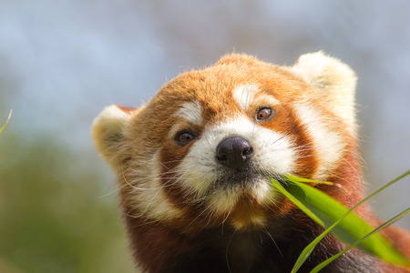 Cross-eyed animal. Cute red panda (Ailurus fulgens) eating looking at bamboo shoots. Funny meme image.