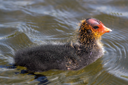 Coot (Fulica atra) chick on water. Baby water bird from the rail family. Close up  of this cute scruffy young animal.