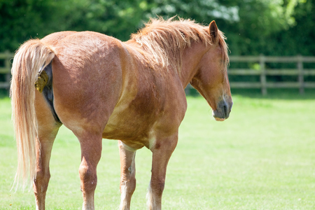 Horse shit. Chestnut horse taking a crap. Funny animal meme image of an animal shitting in a field. With copy space for political comment. Stockfoto