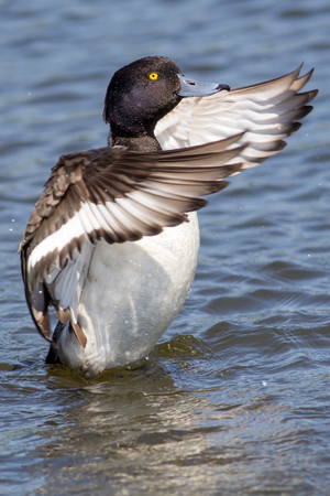 Tufted duck (Aythya fuligula) dance. Washing with wings outstretched on water. Aesthetic nature image of classic lake waterfowl bird in majestic pose.  Stock Photo