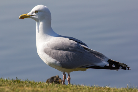 Herring gull (Larus argentatus) standing in close up profile. Full body seagull
