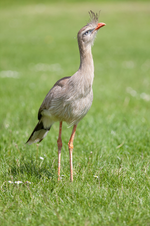 Red legged seriema (Cariama cristata) bird. Crested cariama full body cose up on grass land.