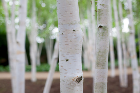 Silver birch (Betula pendula) tree forest. Dreamy image of white bark trees in woodland. Close up of trunks with selective focus on foreground. Banco de Imagens