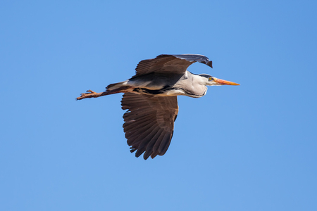 darts flying: Grey heron (Ardea cinerea) in flight. Nature image with blue sky background and copy space.