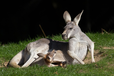 joey: Red Kangaroo (Macropus rufus). Joey in pouch looking at mother. Cute animal meme image with copy space. Marsupial family.