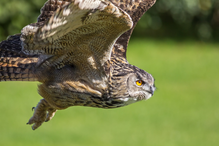 Eagle owl bird of prey hunting in flight. Eagle-owl (Bubo bubo) flying. Wildlife image with blurred green background offering copy space.