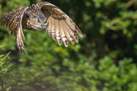 Countryside wildlife. Wild owl bird of prey flying by forest woodland. European eagle-owl (Bubo bubo) in flight against blurred background with copy space. Stock Photo