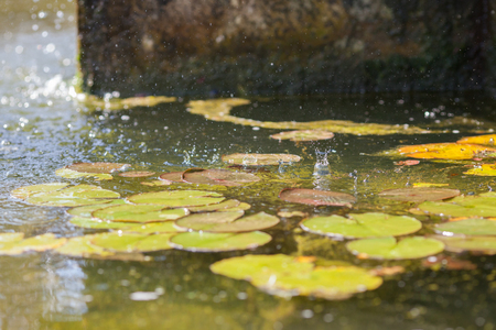 Summer rain drops on water. Lily pads under a fountain. Splashes caught by fast shutter speed using selective focus. Soft dreamy summer rain image.