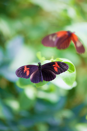 Postman butterflies. Soft painterly nature image of a tropical summer garden butterfly. Pretty background nature image. Stock Photo