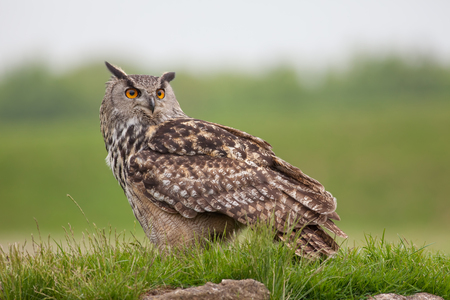 European eagle-owl (Bubo bubo) standing on grassy mound. Bird of prey nature image with copy space. Stock Photo