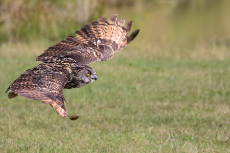 Silent hunter. Eagle owl gliding at ground level. Bird of prey stealth hunting over grassland. Stock Photo