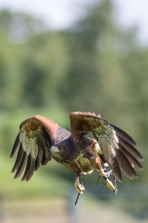Hariss hawk (Parabuteo unicinctus) bird of prey at falconry display. Countryside image with copy space.