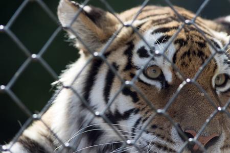 poignant: Soft poignant image of a caged tiger. Animal in captivity. Stock Photo