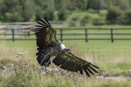 wingspan: Vulture landing. Ruppells griffon vulture (Gyps rueppelli) landing on farmland. Endangered African wildlife. Scavenger bird on agricultural land. Stock Photo