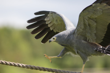 Amazing animal on display. African harrier hawk (Polyboroides typus) bird of prey climbing rope. Stock Photo