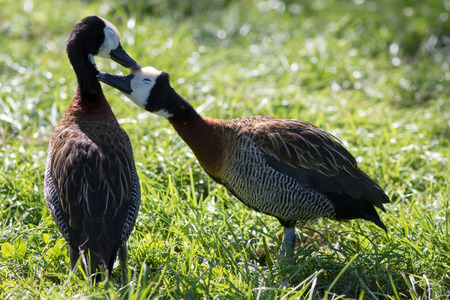 Love birds. Cute loving animal couple. Affectionate bonding pair of white-faced whistling ducks (Dendrocygna viduata) kissing as they groom. Stock Photo