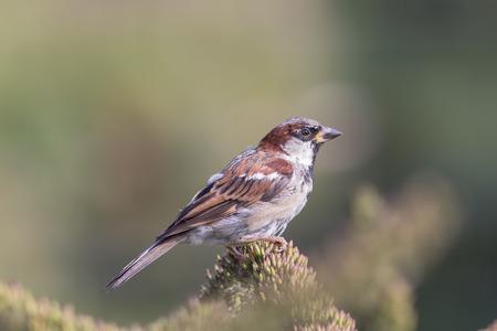 男性の家すずめ (通行人国立公園) 英国の田舎の野生動物