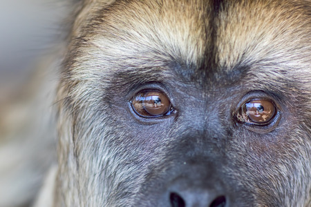 Animal rights. Sad expression on the face of rescued captive howler monkey with reflection of captivity enclosure in its eyes. Close up of thinking animal.