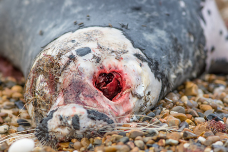 Gory gruesome bloody eye socket in the skull of a decaying seal carcass. Natural world horror image of death and decay.