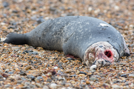 Horrific carcass of a grey seal. Decomposing zombie looking body of a dead marine animal. Bloody eye socket of recently deceased seal.