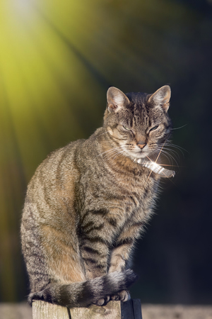 Top cat. Urban domestic tabby cat with silver collar in bright sunshine. Dominant street cat on garden fence post.