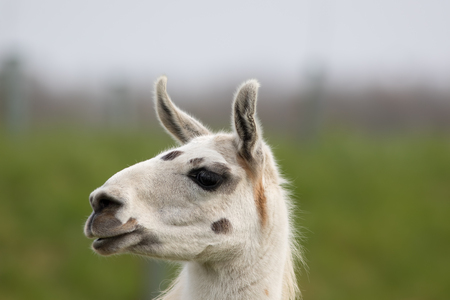 White llama face close up. Funny cute looking animal image. Blurred background with copy space. Stock Photo - 92493612