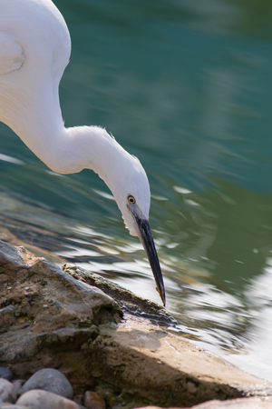 Zen-like wildlife image of a beautiful pure white little egret wading bird by a serene rock pool. Harmony in nature with a tranquil peaceful aesthetic. Stock Photo