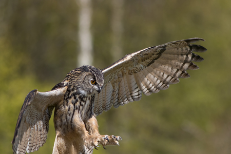 Bird of prey attacking prey. European Eagle Owl hunting with talons outstretched. Blurred green backgound with copy space. Stock Photo