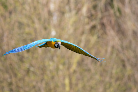 Blue and gold macaw (Ara ararauna) flying. Tropical bird in flight. Blue and yellow wild parrot. Blurred background with copy space.