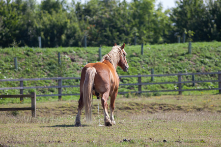 Horse piss. Large chestnut horse pissing in a field as nature calls. Funny animal meme image of a horse urinating on grass. Stock Photo