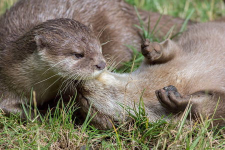 Wild otters playing. Affectionate river animal pair social bonding activity. Beautiful wildlife image of otter pair at play in the grass.