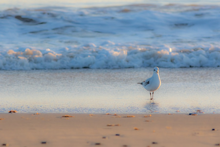Winter nature on the coast. Beautiful white gull standing on the shore. Serene image of a solitary seagull bird on the beach on a cold fresh winter morning. Stock Photo