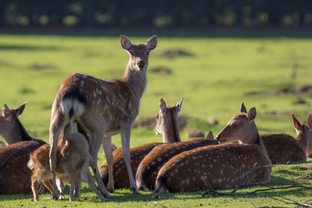 Sika deer (Cervus nippon). Beautiful English countryside nature image. Doe with suckling fawn.