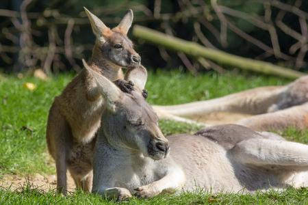 Cute joey animal image. Baby kangaroo holding on to its mothers ear for comfort. Australian marsupial wildlife.